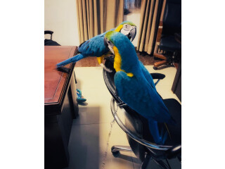 Hand Reared Baby Blue And Gold Macaw!!