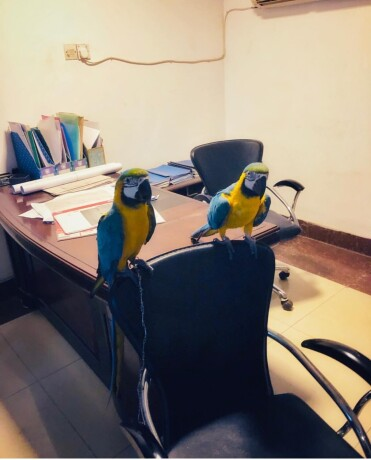 hand-reared-baby-blue-and-gold-macaw-big-1