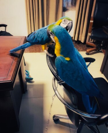 hand-reared-baby-blue-and-gold-macaw-big-0