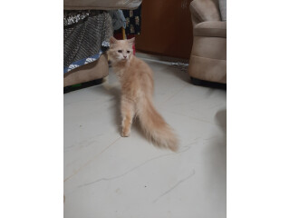 Maine coons cats for sale