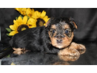 Puppies Adorable Gift yoshie Puppies, all puppies are healthy and come along with their pedigree,
