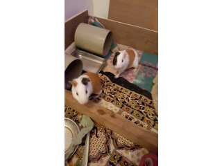 2 guinea pigs(1 male and female)