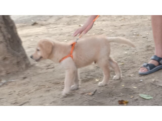 Need to sell my golden retriever