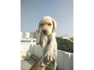 Lab male puppy Available