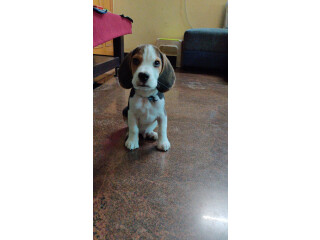 3 month old beagle male pup for sell