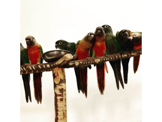 Red factor yellow sided Conures