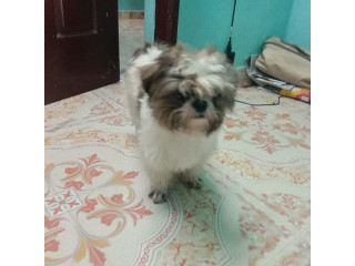 1.2years male shitzhu for sale in Chennai contact 7305889177 price 15000/-