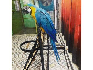 Fully tamed, playful ,talkative blue gold macaw Available