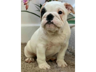 Great Male Bulldog Available For Adoption