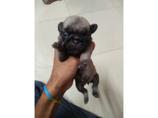 Pug puppies on sell