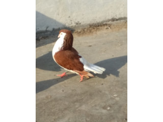 Pigeon for sale (kabootar for sale)