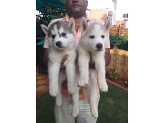 All puppy for sale
