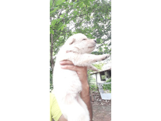 White German shepherd male and female puppys