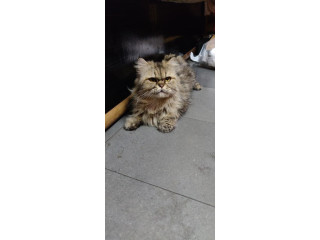 Pure breed Persian cat