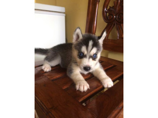 Cute lovely and welcoming Siberian husky puppies