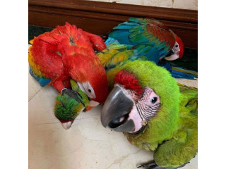 Macaws available for Rehoming