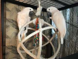 Cockatoo parrots available for rehoming