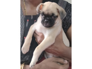 Pug puppy for adoption