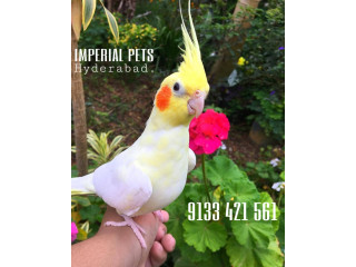 Cute hand tamed Cockatiel pet birds available in Hyderabad at Imperial Pets Call/Whatsapp 9133421561 Home delivery available