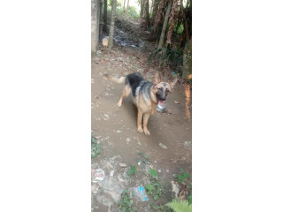 7 months old male garman shepherd puppy for sale