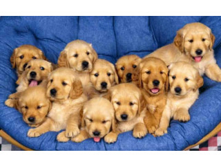 Heavy Bone Golden Retriever Puppy @Rs24,000