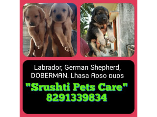 Labrador, Pug, German Shepherd, Rottweiler, pups available for sale