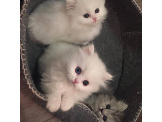 PERSIAN KITTENS CATS SIAMESE SIBERIAN RAGDOLL MAINECOON BENGAL AVAILABLE