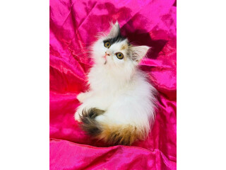Rare Van calico persian kitten for sell