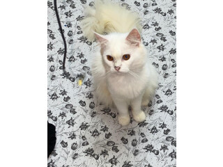 White male persian cat for sale.