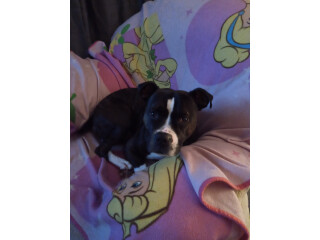 2year old staffie Cross veey nice natured great with kids
