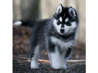 Siberian huskies at affordable prices