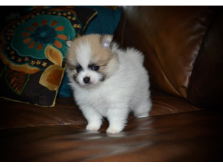 Purebred Tiny Pomeranian Puppies for free