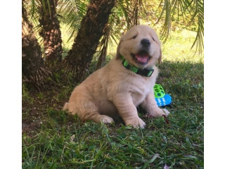 For free Golden Retriever puppies
