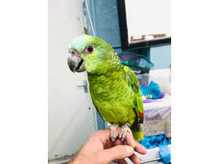 Amazon Talking blue fronted parrots for sale