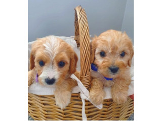 Lovely Cavapoo Puppies