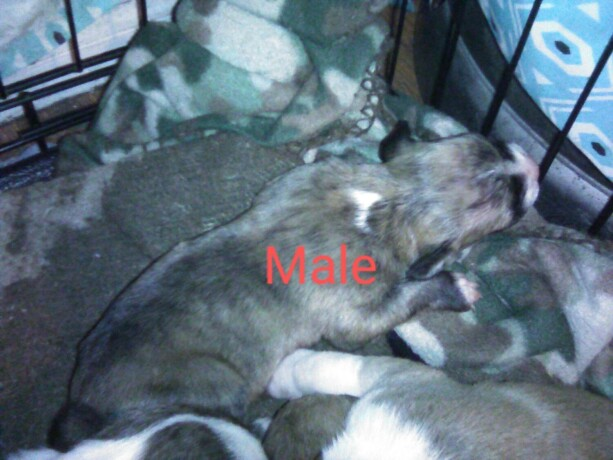 puppies-for-sale-big-2