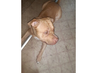 Red Nose Pit Fully Grown
