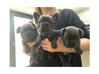 Cheap French Bulldog Puppies Gift,