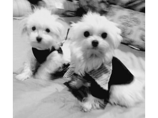 Maltese Puppies available both akc registered
