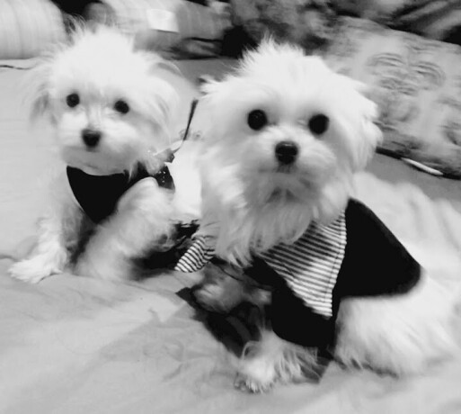 maltese-puppies-available-both-akc-registered-big-0