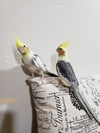 2-cockatiel-birds-big-1