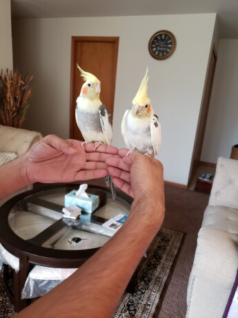 2-cockatiel-birds-big-0