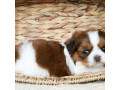 puppies-for-adoption-small-0