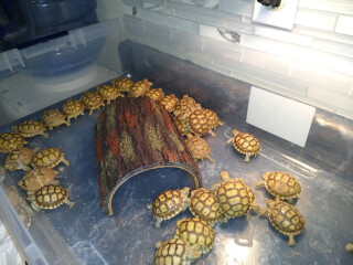 Baby sulcata tortoises for sale $50 each