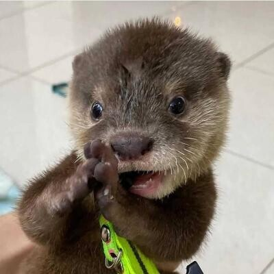 asian-small-clawed-otters-for-sale-big-0