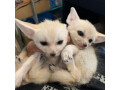 fennec-fox-for-sale-small-0