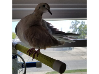 Ringneck doves available