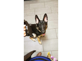 A.K.C. German Shepherd