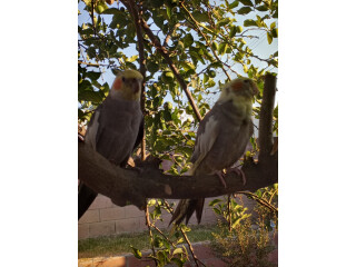 Cockatiel Pair