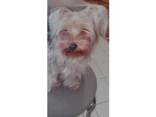3 year old toy yorkie terrier